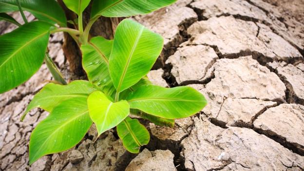 Bananenschössling wächst auf trockener Erde.