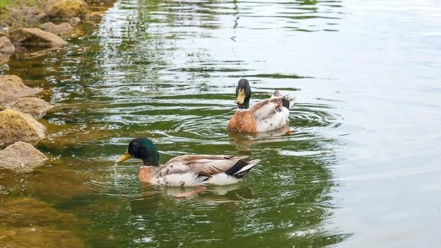 Zwei Enten schwimmen im Wasser.