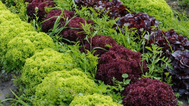 verschiedene Salatsorten
