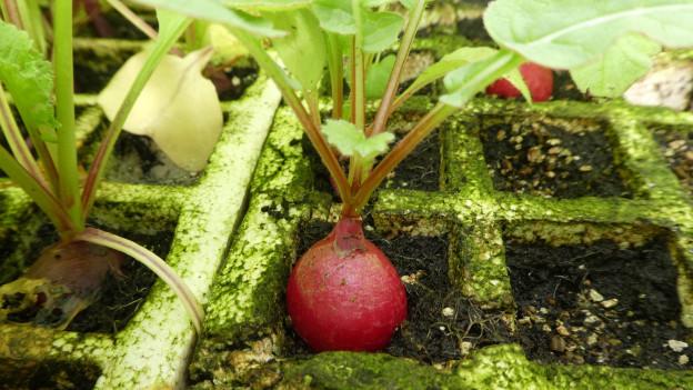 Ein Radiesli wächst in der Erde.