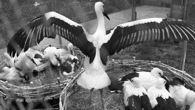 Ein Storch mit seinen Jungen im Nest.