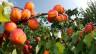 Erntereife Aprikosen: Diese hier wachsen im Wallis.