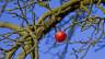Schlechte Apfelernte  - Jetzt zeigen sich die Auswirkungen des Kälteeinbruchs im Frühling.