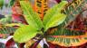 Krotons bringen viele Blattformen und -zeichnungen hervor.