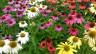 Echinacea in verschiedenen, bunten Farben.