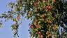 Früchte dürfen nicht von Ästen abgelesen werden – auch nicht, wenn sie vom Gehweg zu pflücken wären. Aber: Fragen ist immer erlaubt.