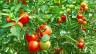 Die aus Süd- und Mittelamerika stammende Tomate ist heute weltweit beliebt.