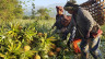 Dank Bio-Ananas kommen Bäuerinnen und Bauern in Nagaland im äussersten Nordosten Indiens zu einem guten Einkommen. Doch bis zu den kaufkräftigsten Konsumenten in Bangalore ist der Weg weit - und der Transport der heiklen Früchte darum eine grosse Herausforderung.