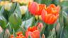 Tulpenmeer im Frühling.